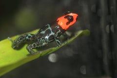 Ευλογημένος βάτραχος δηλητήριων Στοκ Εικόνα