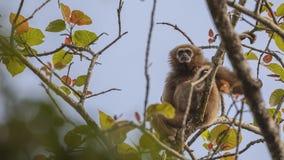 Εφέστιος θεός Gibbon στο δέντρο Στοκ φωτογραφίες με δικαίωμα ελεύθερης χρήσης