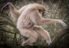 Εφέστιος θεός Gibbon Στοκ Εικόνα
