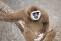 Εφέστιος θεός Gibbon Στοκ Εικόνες