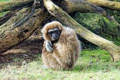 Εφέστιος θεός Gibbon Στοκ φωτογραφίες με δικαίωμα ελεύθερης χρήσης