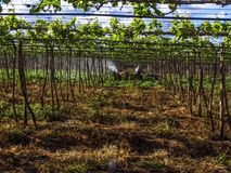 εφαρμογή των φυτοφαρμάκων στη φύτευση των σταφυλιών Στοκ εικόνες με δικαίωμα ελεύθερης χρήσης