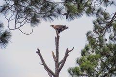 Εφηβικός φαλακρός αετός που αντιμετωπίζει τον αέρα Στοκ εικόνες με δικαίωμα ελεύθερης χρήσης