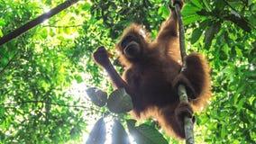 Εφηβικός orangutan έχει βρεί ένα πρόχειρο φαγητό Στοκ φωτογραφία με δικαίωμα ελεύθερης χρήσης