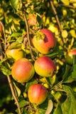 Εύγευστα μήλα στιλβωτικής ουσίας στο δέντρο στον οπωρώνα Στοκ εικόνα με δικαίωμα ελεύθερης χρήσης