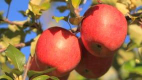 Εύγευστα μήλα με το μπλε ουρανό στο υπόβαθρο φιλμ μικρού μήκους