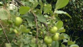 Εύγευστα πράσινα μήλα, οπωρωφόρο δέντρο, ιδιωτικός οπωρώνας, δενδροκηποκομία φιλμ μικρού μήκους