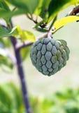 Εύγευστη ζάχαρη πράσινο μήλου Στοκ εικόνα με δικαίωμα ελεύθερης χρήσης