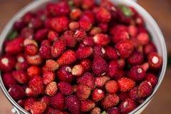 εύγευστη φράουλα μούρα ώριμα Συλλέγουμε τις φράουλες Στοκ Εικόνα