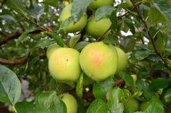 εύγευστος χρυσός μήλων Στοκ εικόνα με δικαίωμα ελεύθερης χρήσης
