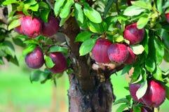 εύγευστο κόκκινο μήλων Στοκ Εικόνες