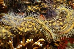 Εύθραυστα πλοκάμια αστεριών σφουγγαριών με το χρυσό zoanthid στοκ εικόνα με δικαίωμα ελεύθερης χρήσης