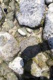 Εύθραυστο αστέρια ή Ophiuroidea, στροβιλιμένος πλοκάμια at high tide, Nusa Penida, Ινδονησία Στοκ φωτογραφίες με δικαίωμα ελεύθερης χρήσης
