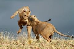 Εύθυμα αφρικανικά λιοντάρια Στοκ Εικόνες