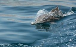 Εύθυμα δελφίνια humpback παράκτια νερά Musandam Ομάν στοκ εικόνα