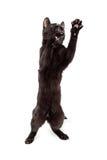 Εύθυμα μαύρα μόνιμα πόδια γατακιών επάνω Στοκ Εικόνες