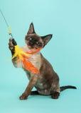 Εύθυμη γάτα του Ντέβον σημείου σφραγίδων rex με τα μπλε μάτια που πιάνουν ένα επενδυμένο με φτερά παιχνίδι σε ένα μπλε backgroun  Στοκ εικόνα με δικαίωμα ελεύθερης χρήσης