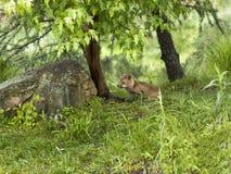 Εύθυμη εξάρτηση αλεπούδων Στοκ εικόνες με δικαίωμα ελεύθερης χρήσης
