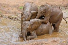 Εύθυμοι ελέφαντες μωρών Στοκ Φωτογραφία