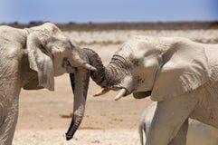 2 εύθυμοι ελέφαντες σε Etosha Στοκ Εικόνες