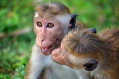Εύθυμοι πίθηκοι, Srí Lanka στοκ εικόνες