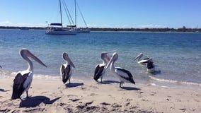 Εύθυμοι πελεκάνοι στην παραλία σε ένα ηλιόλουστο απόγευμα με τους μπλε ουρανούς, το λαμπιρίζοντας νερό και τα γιοτ πολυτέλειας