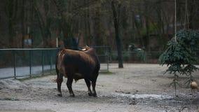 Εύθυμος μεγάλος ταύρος πίσω από έναν φράκτη φιλμ μικρού μήκους
