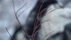 Εύθυμος σιβηρικός γεροδεμένος με τους άσπρους κυνόδοντες hige δαγκώνει τους κλάδους που καλύπτονται με το χιόνι στο υπόβαθρο χειμ απόθεμα βίντεο