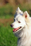 Εύθυμο ιαπωνικό spitz σκυλί στοκ φωτογραφία