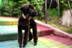 Εύθυμο μαύρο poodle Στοκ Φωτογραφία