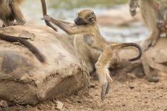 Εύθυμο νέο baboon που ψάχνει το πρόβλημα στο βράχο φύσης Στοκ φωτογραφία με δικαίωμα ελεύθερης χρήσης