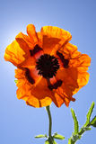 Εύθυμο πορτοκαλί λουλούδι παπαρουνών με την ηλιοφάνεια Στοκ Φωτογραφίες