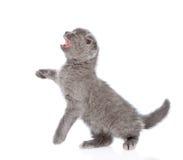 Εύθυμο σκωτσέζικο γατάκι shorthair η ανασκόπηση απομόνωσε το λευκό Στοκ φωτογραφίες με δικαίωμα ελεύθερης χρήσης