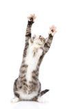 Εύθυμο τιγρέ γατάκι στο μέτωπο που ανατρέχει Απομονωμένος στο λευκό στοκ φωτογραφία με δικαίωμα ελεύθερης χρήσης
