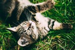 Εύθυμο χαριτωμένο τιγρέ γκρίζο παιχνίδι Pussycat γατακιών γατών Στοκ εικόνα με δικαίωμα ελεύθερης χρήσης