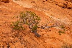 Εύκαμπτο πεύκο Canyonlands Στοκ φωτογραφία με δικαίωμα ελεύθερης χρήσης