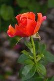 Εύκολος κάνει αυτό αυξήθηκε οφθαλμός λουλουδιών Στοκ Εικόνα