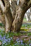 Εύρωστο παλαιό δέντρο Στοκ Εικόνες