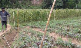 Εδάφη καλλιέργειας ρίζας τεύτλων σε Ambegoda στοκ εικόνες