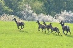 Ελάφια άγριας φύσης στο λιβάδι στοκ φωτογραφία με δικαίωμα ελεύθερης χρήσης