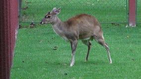 Ελάφια, άλκες, άλκες, θηλαστικά, ζώα ζωολογικών κήπων, άγρια φύση απόθεμα βίντεο
