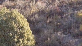 Ελάφια μουλαριών στη βουνοπλαγιά απόθεμα βίντεο