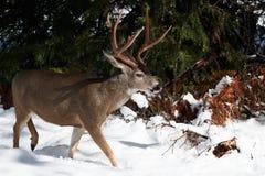 Ελάφια μουλαριών buck με τα μεγάλα ελαφόκερες στο χιόνι Στοκ Εικόνες