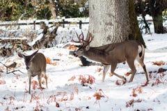 Ελάφια μουλαριών buck με τα μεγάλα ελαφόκερες στο χιόνι Στοκ Φωτογραφία