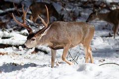 Ελάφια μουλαριών buck με τα μεγάλα ελαφόκερες στο χιόνι Στοκ Φωτογραφίες