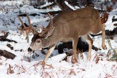 Ελάφια μουλαριών buck με τα μεγάλα ελαφόκερες στο χιόνι Στοκ εικόνα με δικαίωμα ελεύθερης χρήσης