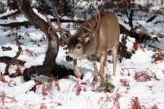 Ελάφια μουλαριών buck με τα μεγάλα ελαφόκερες στο χιόνι Στοκ φωτογραφία με δικαίωμα ελεύθερης χρήσης