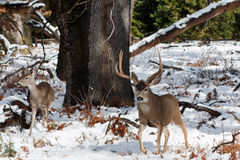 Ελάφια μουλαριών buck με τα μεγάλα ελαφόκερες στο χιόνι Στοκ Εικόνα