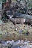 Ελάφια μουλαριών buck που υπερασπίζονται τον ποταμό Στοκ Εικόνες