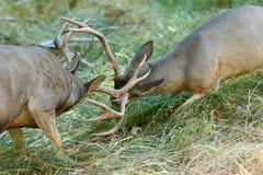 Ελάφια μουλαριών bucks που πυγμαχούν Στοκ Εικόνα